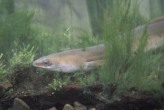 Common eel, Anguilla anguilla Stock Images