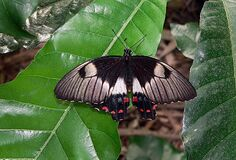Common Eggfly Royalty Free Stock Image