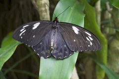 Common Eggfly Butterfly of Australia. A closeup of the Common Eggfly Butterfly - Hypolimnas Bolina found in the rainforest of Queensland, Australia. The white Stock Photos