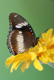 Common Eggfly Butterfly with closed wings. On yellow flower Royalty Free Stock Photo