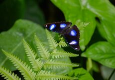 Free Common Eggfly - Hypolimnas Bolina Royalty Free Stock Photo - 194501315