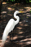 Common Egret. Great White Egret walking in a South Florida park royalty free stock photos