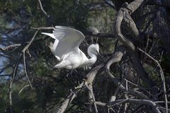 Common egret Royalty Free Stock Images