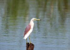 Common Egret Stock Photo