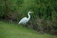 Common Egret (Ardea alba). Photographed here in a South Carolina swamp, USA stock photos