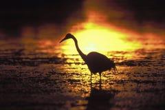 Common Egret (Casmerodius albus) - Florida Royalty Free Stock Photography