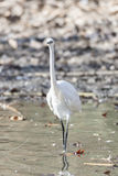 Common Egret, Egretta garzetta Royalty Free Stock Photography