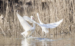 Common Egret, Egretta garzetta Stock Photos