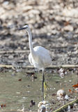 Common Egret, Egretta garzetta Royalty Free Stock Photo