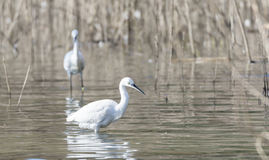 Common Egret, Egretta garzetta Stock Image