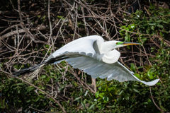 Common Egret in Flight. This common egret in flight displays the mating color of green above its bill stock images