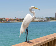 Common egret. The great egret Ardea alba, also known as the common egret, large egret or in the Old World great white heron stock photography