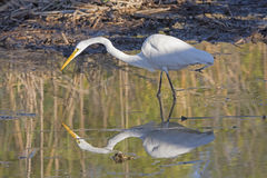 Common Egret on the Hunt with its reflection. In Port Aransas, Texas Stock Photo