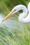Common Egret. An image of a Common Egret royalty free stock image