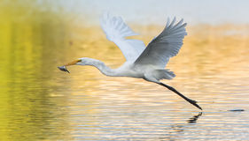 Common Egret. An image of a Common Egret stock photos
