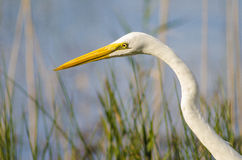 Common Egret profile Stock Photography