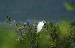 Common Egret Resting. A Great Egret waiting for the right moment to hunt stock photos