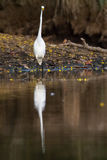 Common egret. Slender common egret standing by the lake in Nicoya peninsula, Costa Rica stock images