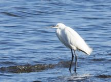 Common egret is a species of pelecaniform bird. The adult measures between 55 and 65 cm and has a wingspan of between 88 and 105 cm; and weighs between 350 and royalty free stock photo