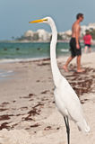 Common egret at a tropical beach. On the gulf of mexico searching for his next meal with beach goers in background royalty free stock photo