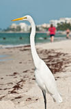 Common egret at a tropical beach. Common egret at a tropical sandy beach on the coast of the Gulf of Mexico searching for next meal stock images