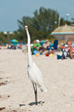 Common Egret at a tropical beach. Searching for the next meal while vacationers are sunning and relaxing royalty free stock photography