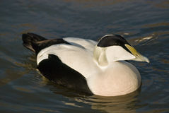 Common Eider Royalty Free Stock Image