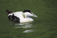 Common eider. The floating common eider in the pond Stock Photo