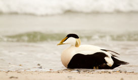 A common eider. On the beach Royalty Free Stock Photos