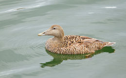 A common eider. Is swimming in the sea Stock Images