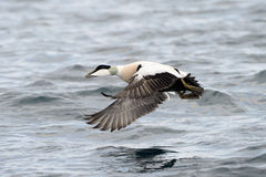 Common Eider Stock Image