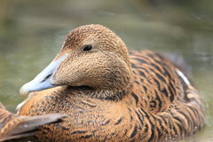 Common eider Royalty Free Stock Photos