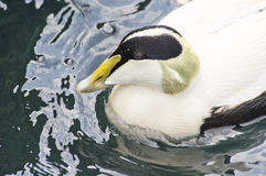Common Eider Duck Royalty Free Stock Image