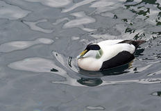 Common Eider Duck Royalty Free Stock Photos