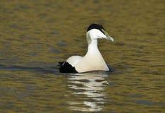 Common Eider Duck Royalty Free Stock Photo