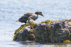 Common Eider family Royalty Free Stock Photography