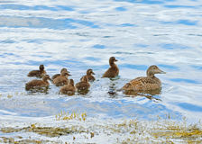 Common eider. Female with ducklings. Common eider (Somateria mollissima). Female with ducklings Stock Images