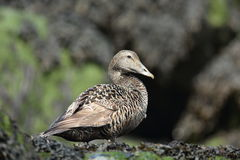 Common Eider Royalty Free Stock Photo