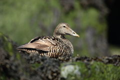 Common Eider Royalty Free Stock Photography