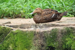 Common eider Stock Images