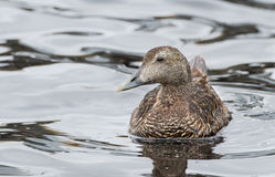 Common eider female (Somateria mollissima) Stock Image