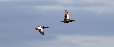 Common Eider flying stock photography