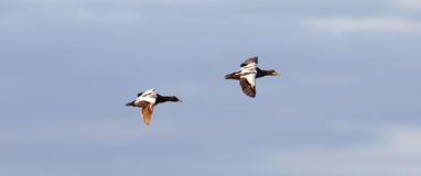 Common Eider flying royalty free stock photos