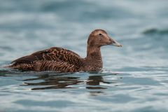 Female of Common eider Somateria mollissima, beautiful bird from the northern coasts of Europe, North America stock photography