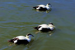 Common Eider, male Royalty Free Stock Image