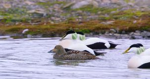 Common eider mating at the arctic sea stock video footage