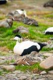 Common eider nesting Stock Image