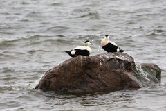 Common Eider. Pair of male Eiders on the rock near the shoreline Stock Photography