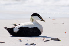 Common Eider (Somateria mollissima) Stock Photography
