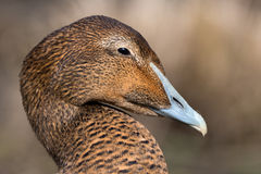 Common eider - Somateria mollissima Royalty Free Stock Photo